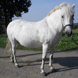 Hipoterapeutický kůň jménem Hvězda.