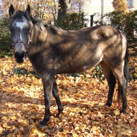 Hipoterapeutický pony jménem Jessika.