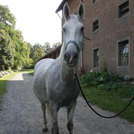 Hipoterapeutický kůň jménem Meri.